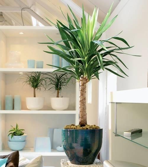 Комнатная пальма юкка: уход в домашних условиях, правила выращивания и размножения