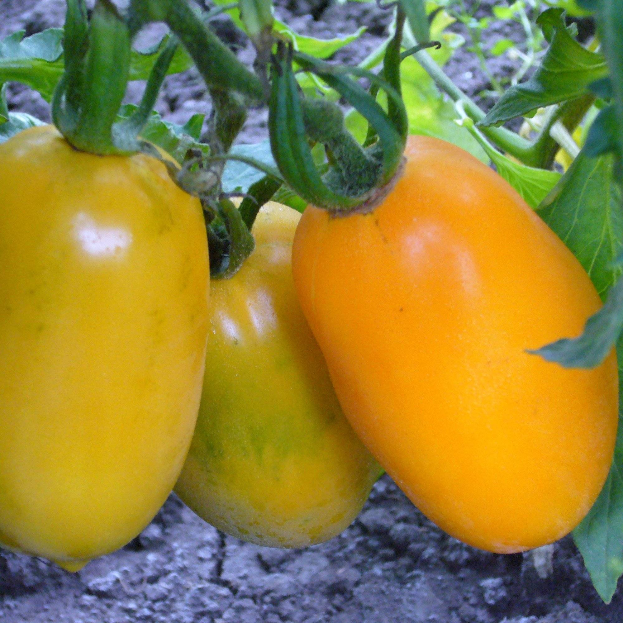 Томат олеся отзывы фото урожайность характеристика
