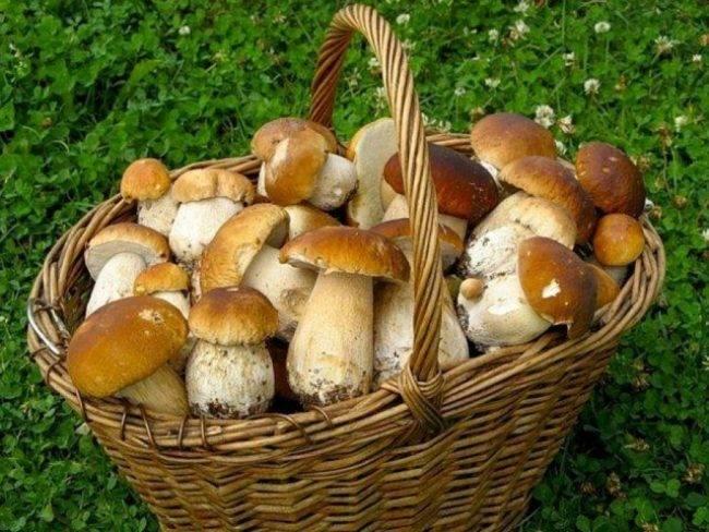 Какие грибы растут в новосибирской области. топ самых популярных