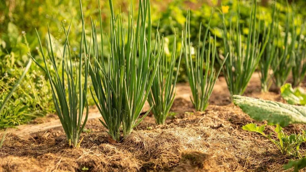 Как посадить лук севок правильно. советуют профессионалы