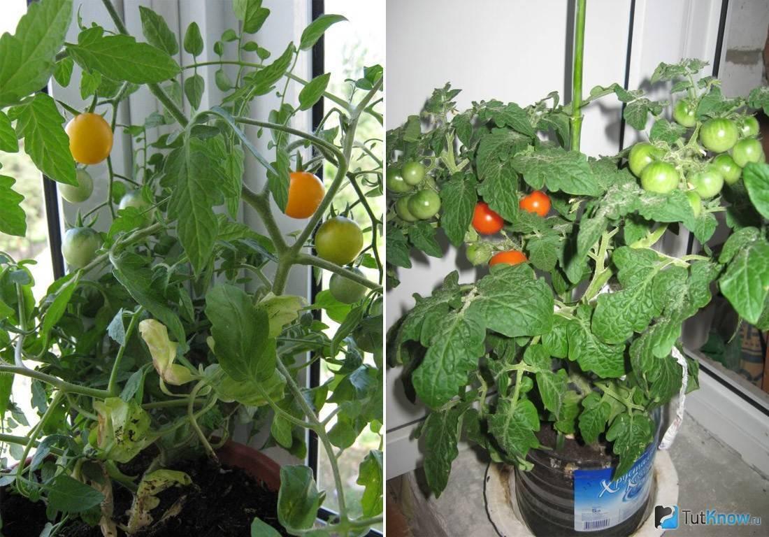 Все о выращивании томатов на подоконнике: от посева до сбора урожая на supersadovnik.ru