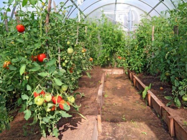 Характеристика сорта томатов перцевидный гигант