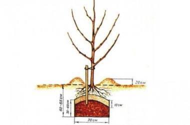 Как правильно посадить яблоню: пошаговое руководство, весной, осенью, в другое время года
