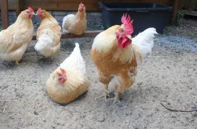 Лучшие мясо-яичные породы кур. - фермеры россии