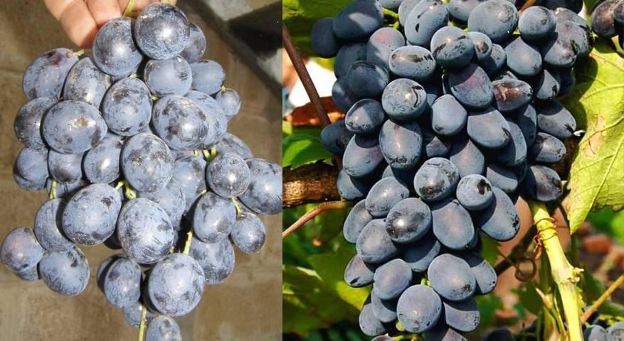 Аттика виноград: описание сорта кишмиша, характеристика, выращивание и уход