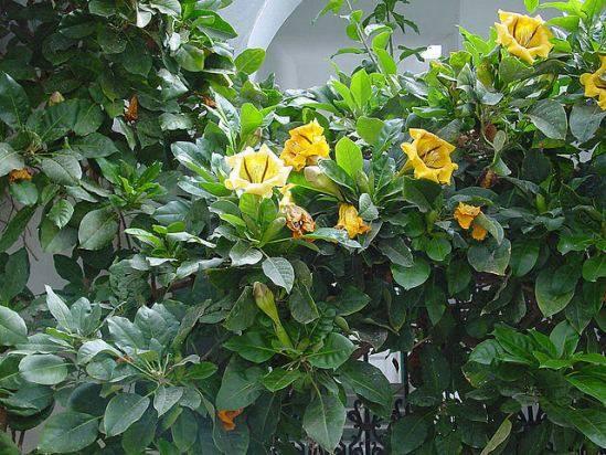 Русселия - уход в домашних условиях, фото цветка, описание растения, размножение