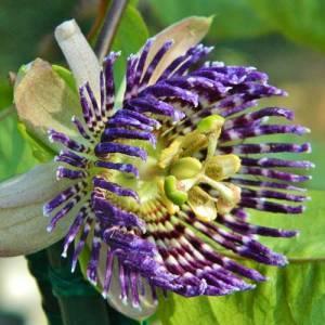 Как вырастить пассифлору из семян дома или в саду
