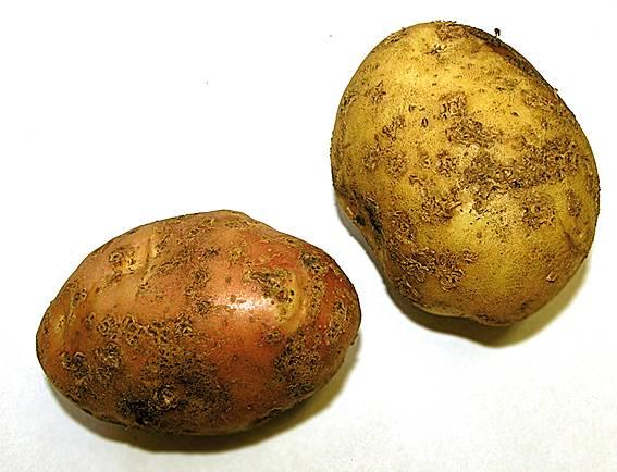 ᐉ рак картофеля фото и описание - zooshop-76.ru