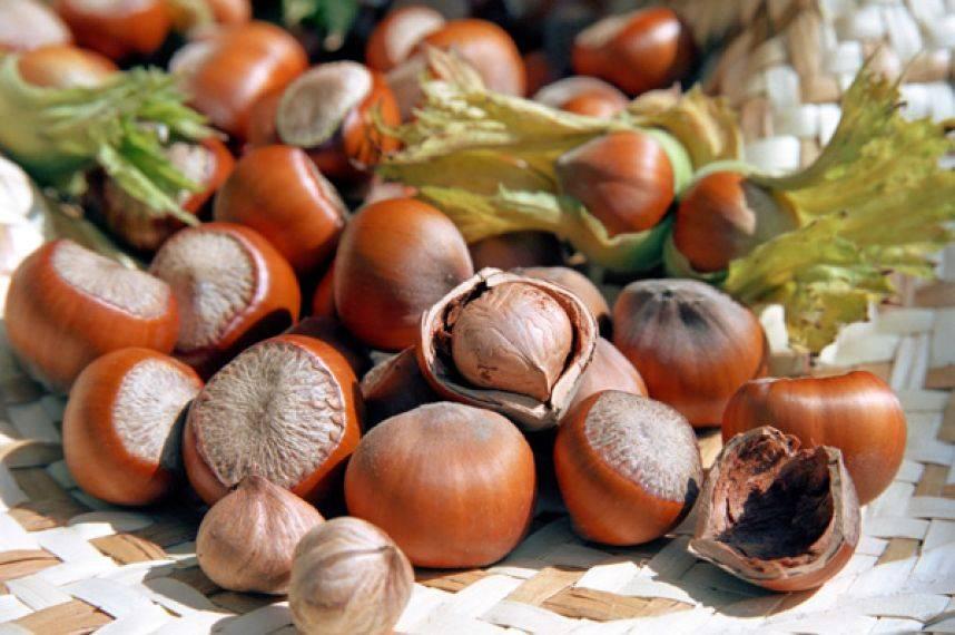 Фундук – выращивание питательных и полезных орехов