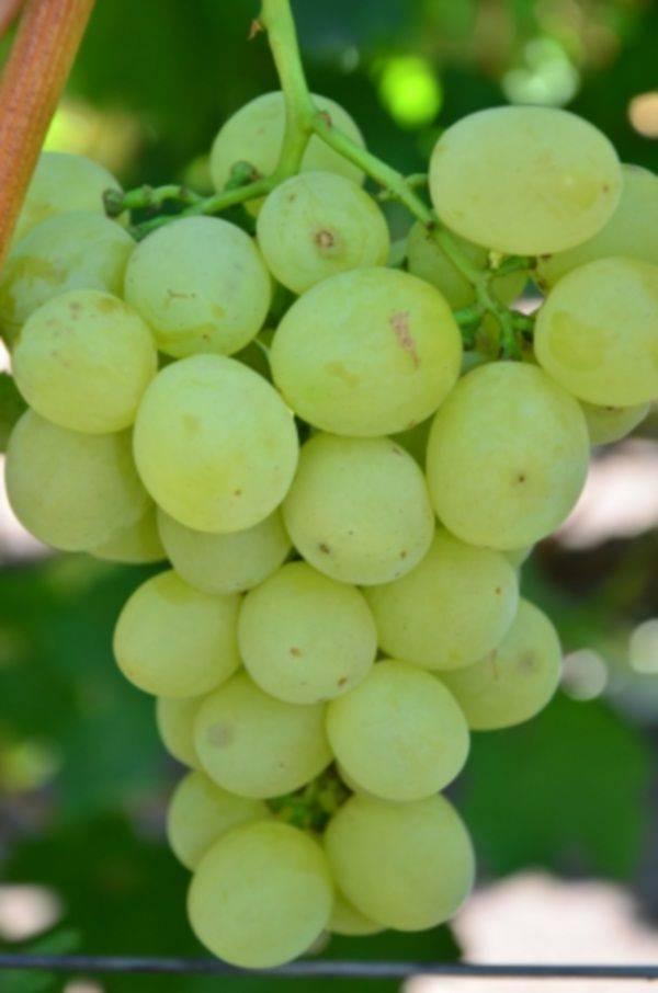 Описание сорта винограда спонсор