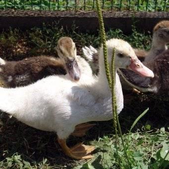 Почему утки щипают друг друга и едят перья: причины и способы их решения