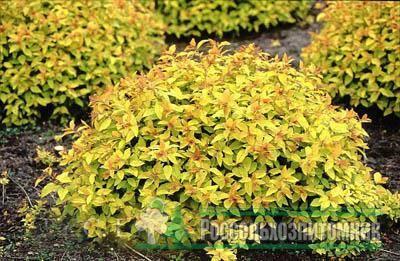 Спирея голд флейм - выращиваем красивый декоративный кустарник в своем саду - мегарод