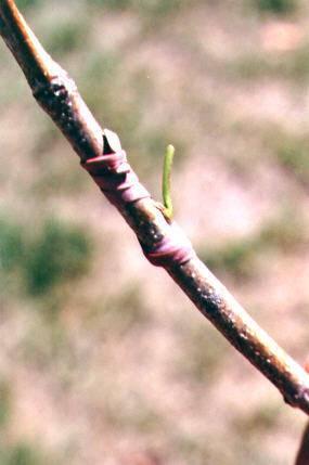 Весенняя окулировка плодовых деревьев – эффективный метод прививки