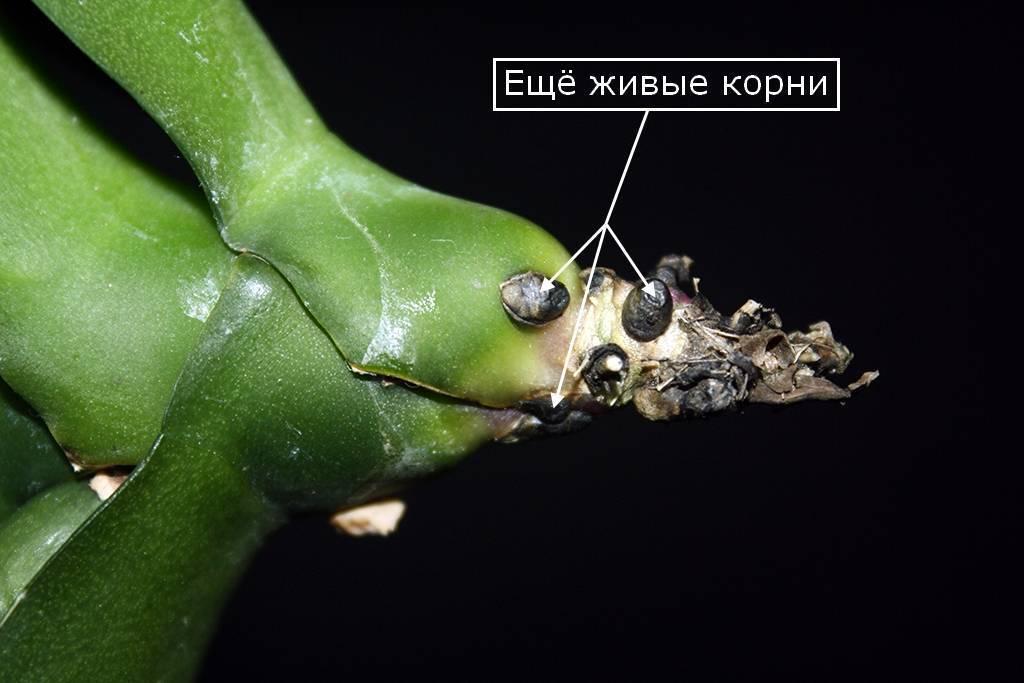Как спасти орхидею без листьев, но с корнями, которые зеленые и живы, можно ли реанимировать при сгнившей или засохшей верхушке и видео о выращивании