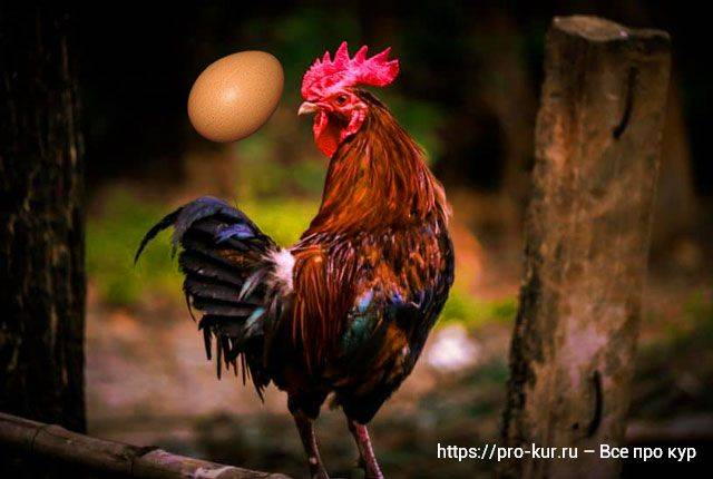 Могут ли курицы нести яйца без петуха