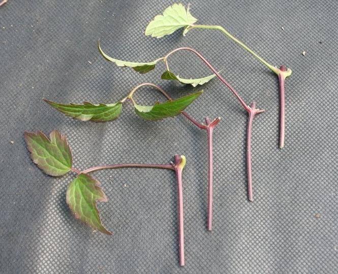 Как размножить клематис летом, осенью - черенками, отводками, семенами – дачные дела