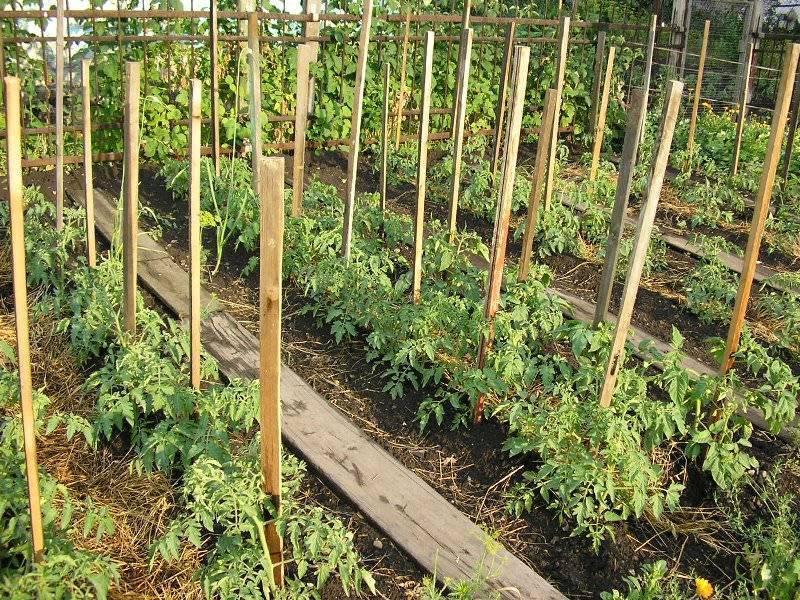 На каком расстоянии нужно сажать помидоры?