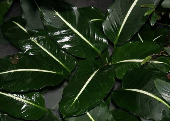 Причины пожелтевших листьев диффенбахии и как с этим бороться?
