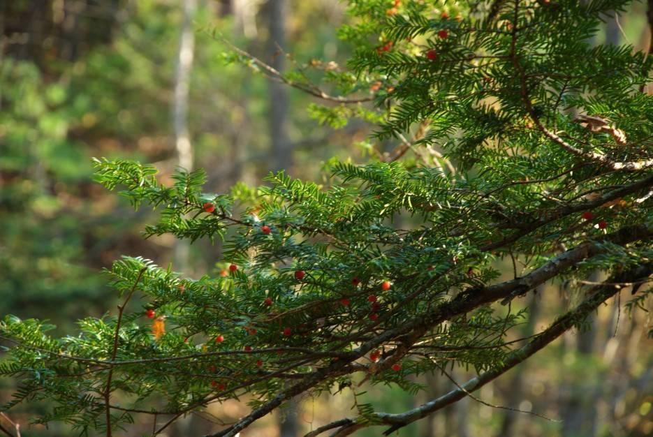 Тис (taxus) – семейство тисовых(taxaceae)