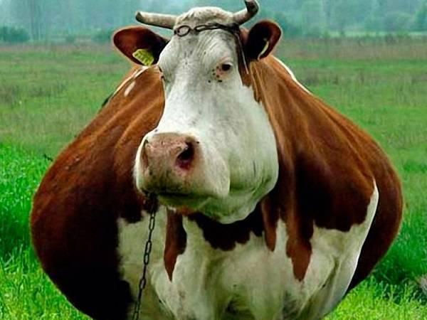 Все о беременности коровы