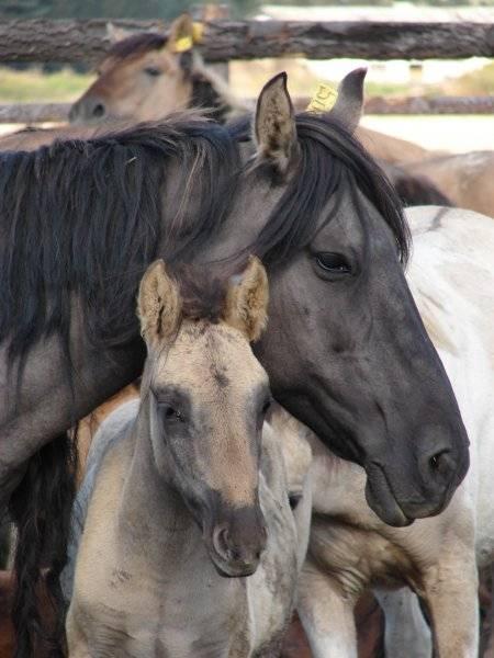 Башкирская лошадь: характеристика породы