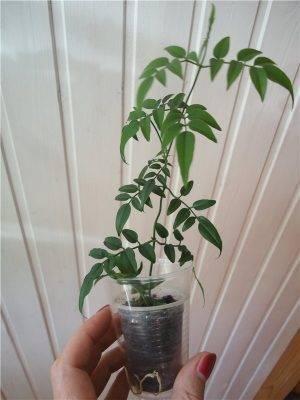 Размножение жасмина черенками летом, правила пересадки и ухода за растением