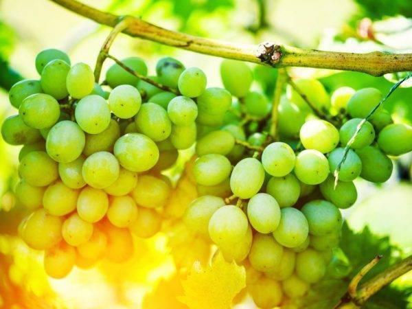 Особенности винограда изюминка: происхождение гибридной формы, описание сорта, первый урожай с молодых кустов