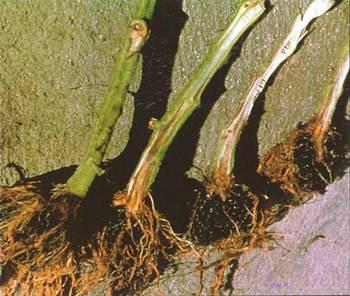 ✅ почему вянет рассада помидор, как спасти рассаду от увядания, почему она гибнет - tehnomir32.ru