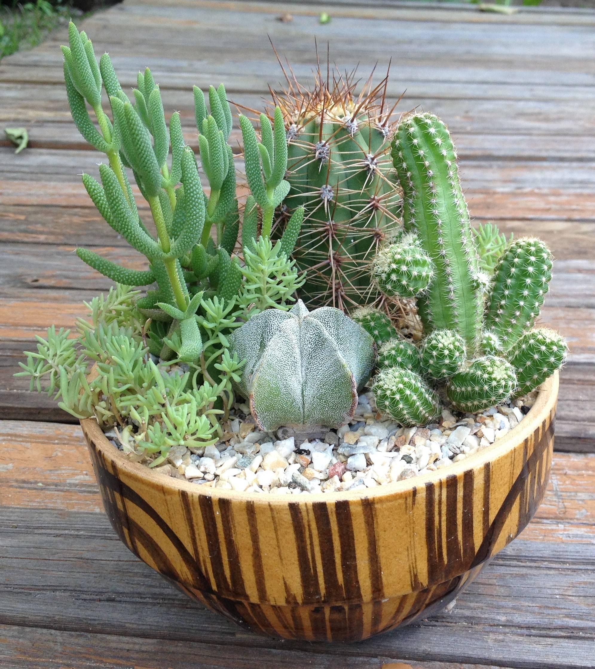 Какие бывают виды кактусов: фото, видео названия, краткое описание разных видов домашних кактусов