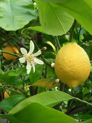 Как ухаживать за лимоном в домашних условиях в горшке: полив, подкормка и советы по выращиванию для начинающих (120 фото и видео)