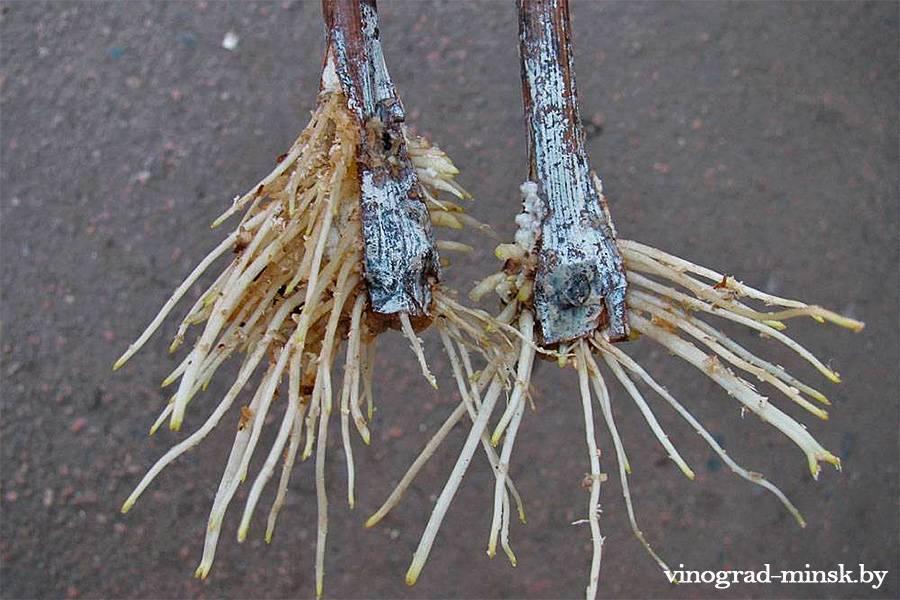 Черенки винограда - как укоренить черенки винограда весной в воде, правила проращивания