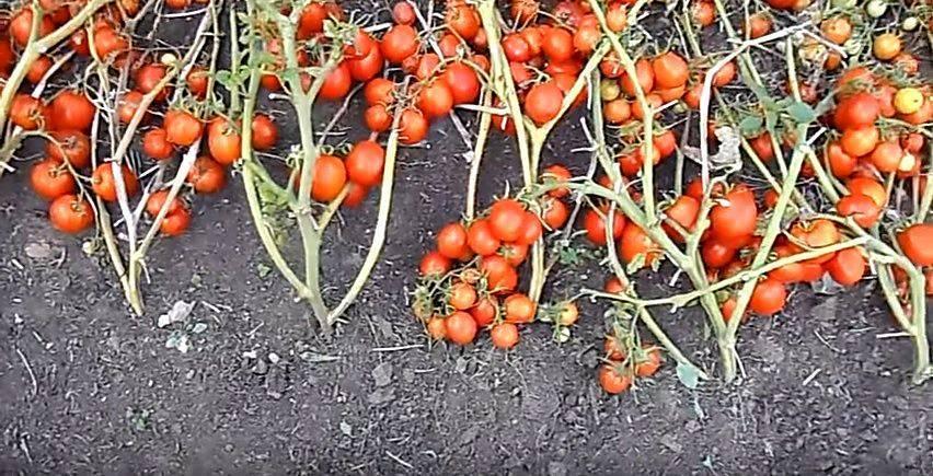 Компактный томат повышенной продуктивности, описание засолочного чуда