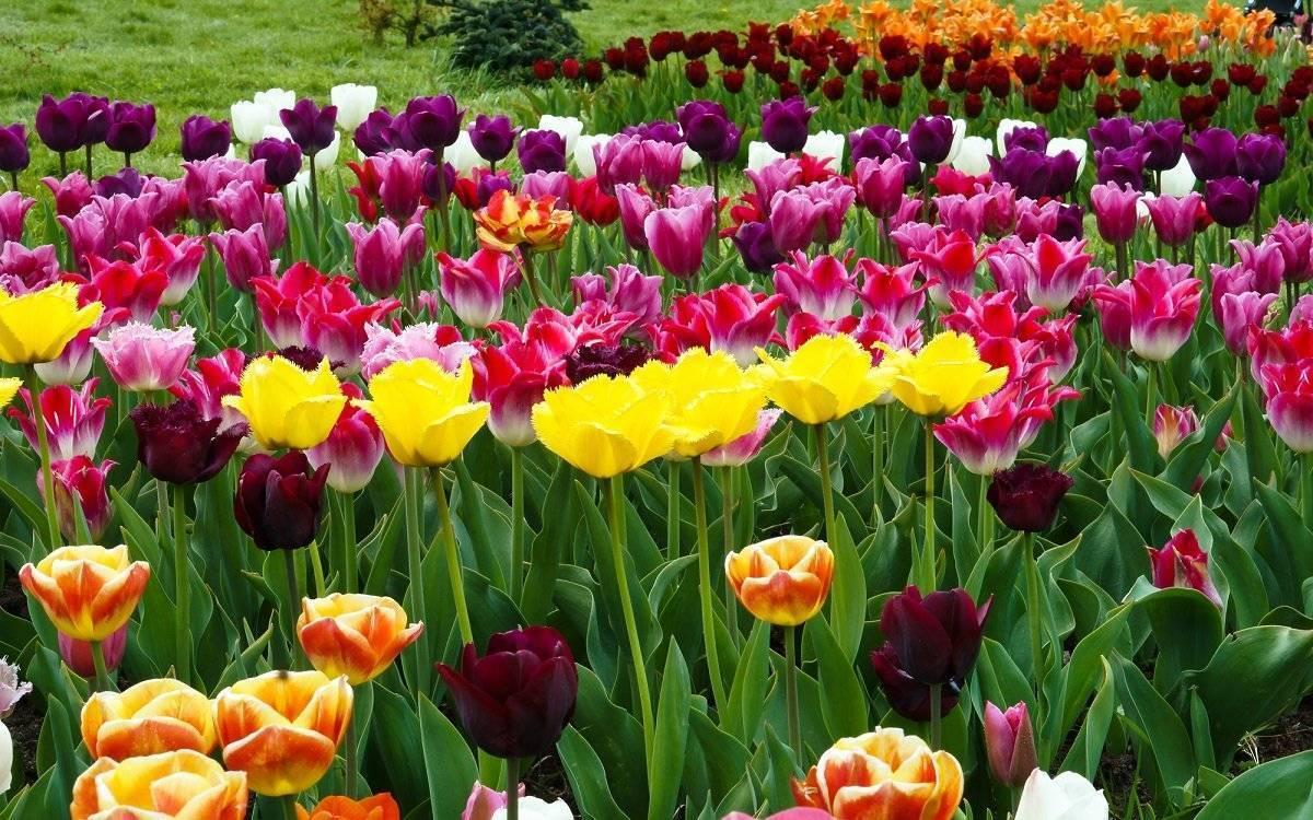Почему не цветут тюльпаны, одни листья, что делать > сад, огород и уголок растениевода