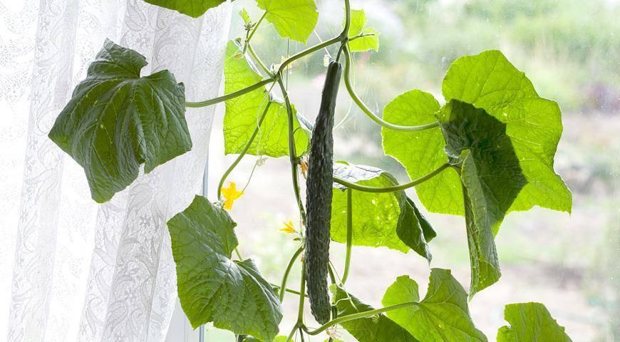 Выращивание огурцов на подоконнике зимой в домашних условиях
