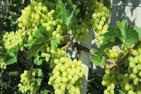 «ландыш» — столовый сорт винограда с прекрасными вкусовыми качествами
