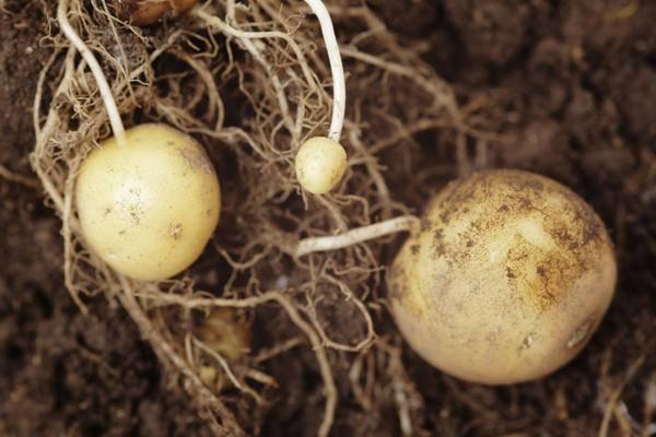 ᐉ обрывать ли ростки у картофеля перед посадкой - roza-zanoza.ru