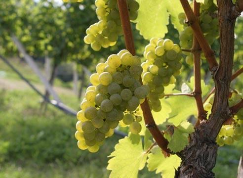 Американский виноград: особенности и описание сортов