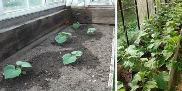 Когда сажать огурцы на рассаду в 2020 году для теплицы: благоприятные дни для посева семенами по лунному календарю