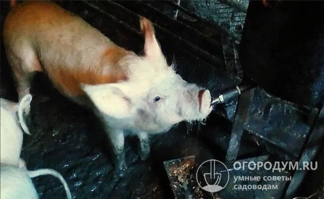 Как сделать поилки для свиней ? своими руками - основные виды | пошаговая инструкция