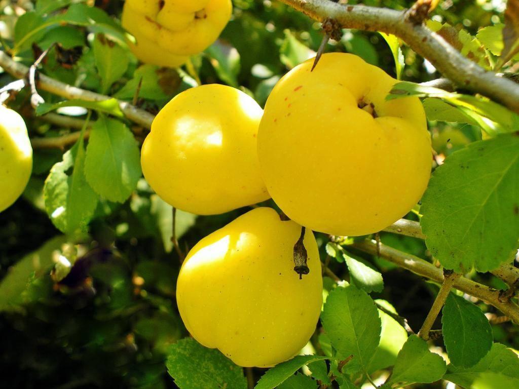 Какими полезными веществами богата айва — витамины, состав, калорийность