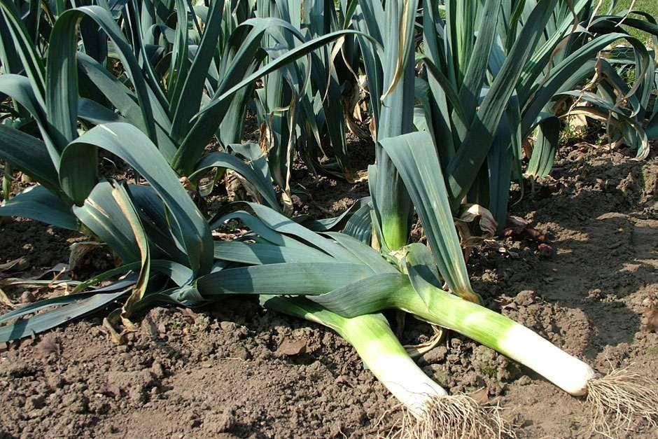 Лук-порей: выращивание и уход в сибири (посадка на рассаду, когда убирать) + фото и видео