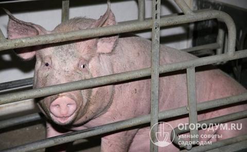 Как узнать что свинья скоро опоросится, свиноматка перед опоросом