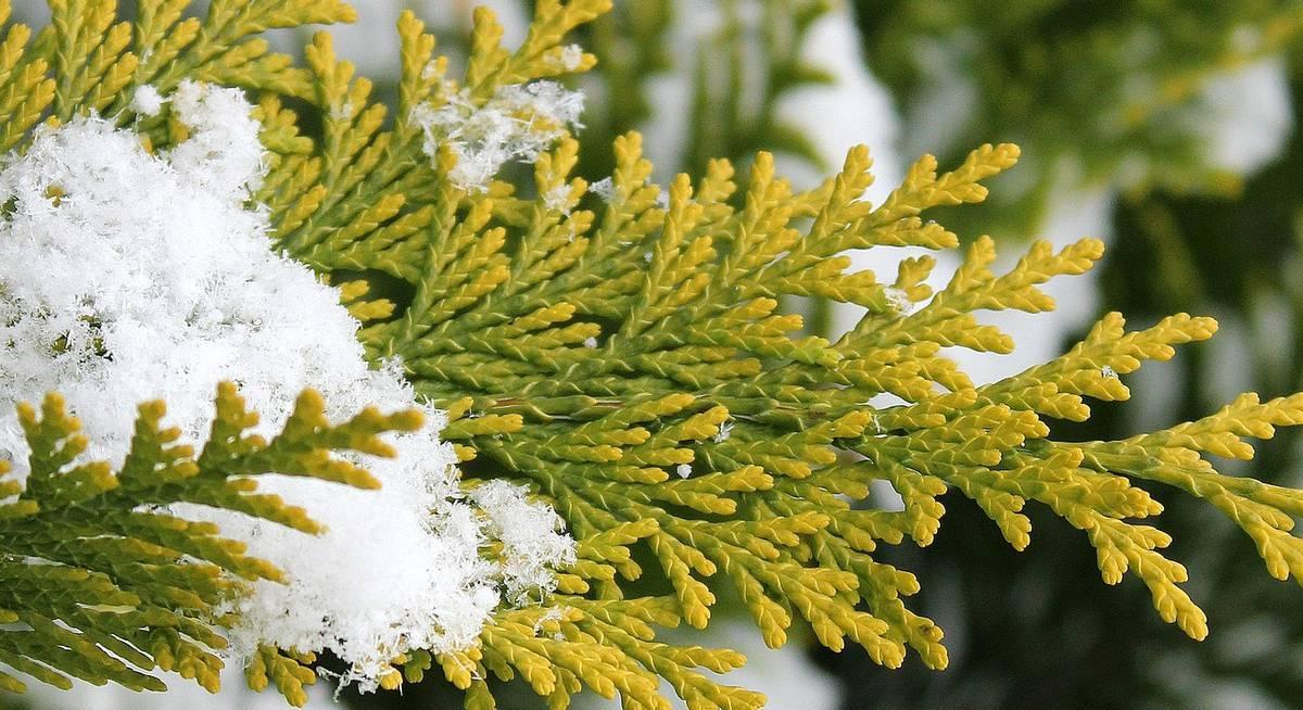 Туи пожелтели: что делать, если концы хвои сохнут после зимы? чем обработать туи от пожелтения весной? как лечить их от болезней осенью?