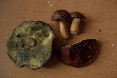 Польский гриб — википедия