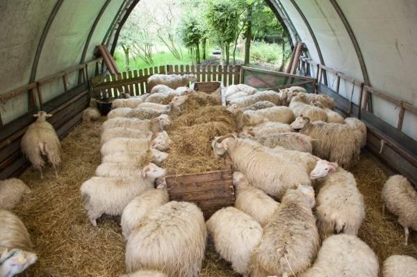 Особенности разведения овец для начинающих — подготовка, уход в домашних условиях, советы