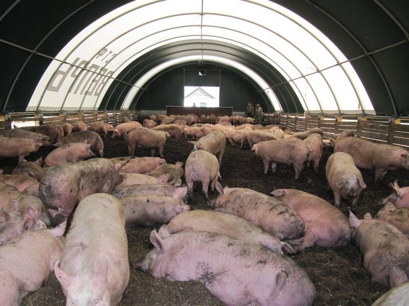 Хорошая свиноферма: схема и проект, правила постройки свинарника, закупка животных
