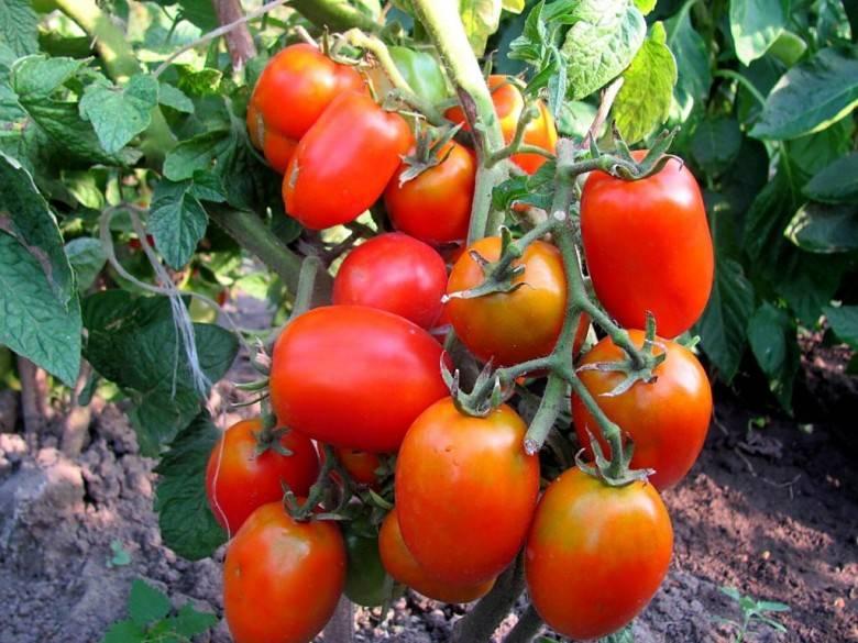 Подкормка томатов суперфосфатом: как и когда