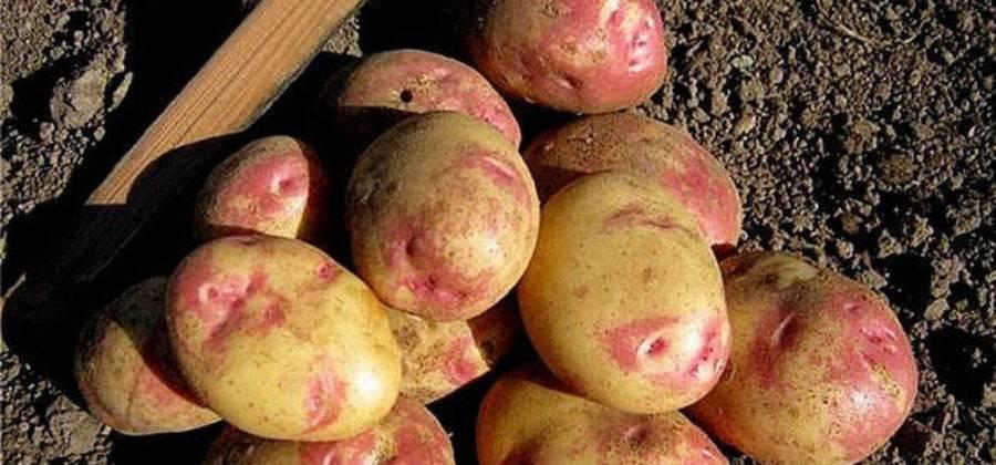 Сорта картофеля - описание, характеристики и фото
