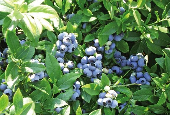 Сорта голубики – река (reka). выращивание на приусадебном участке