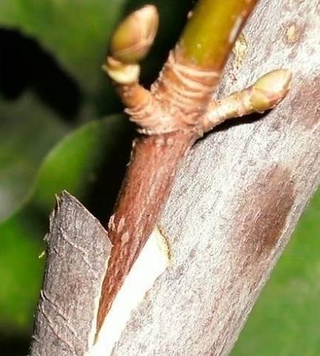 Прививка плодовых деревьев: сравнительный обзор лучших способов скрестить деревья